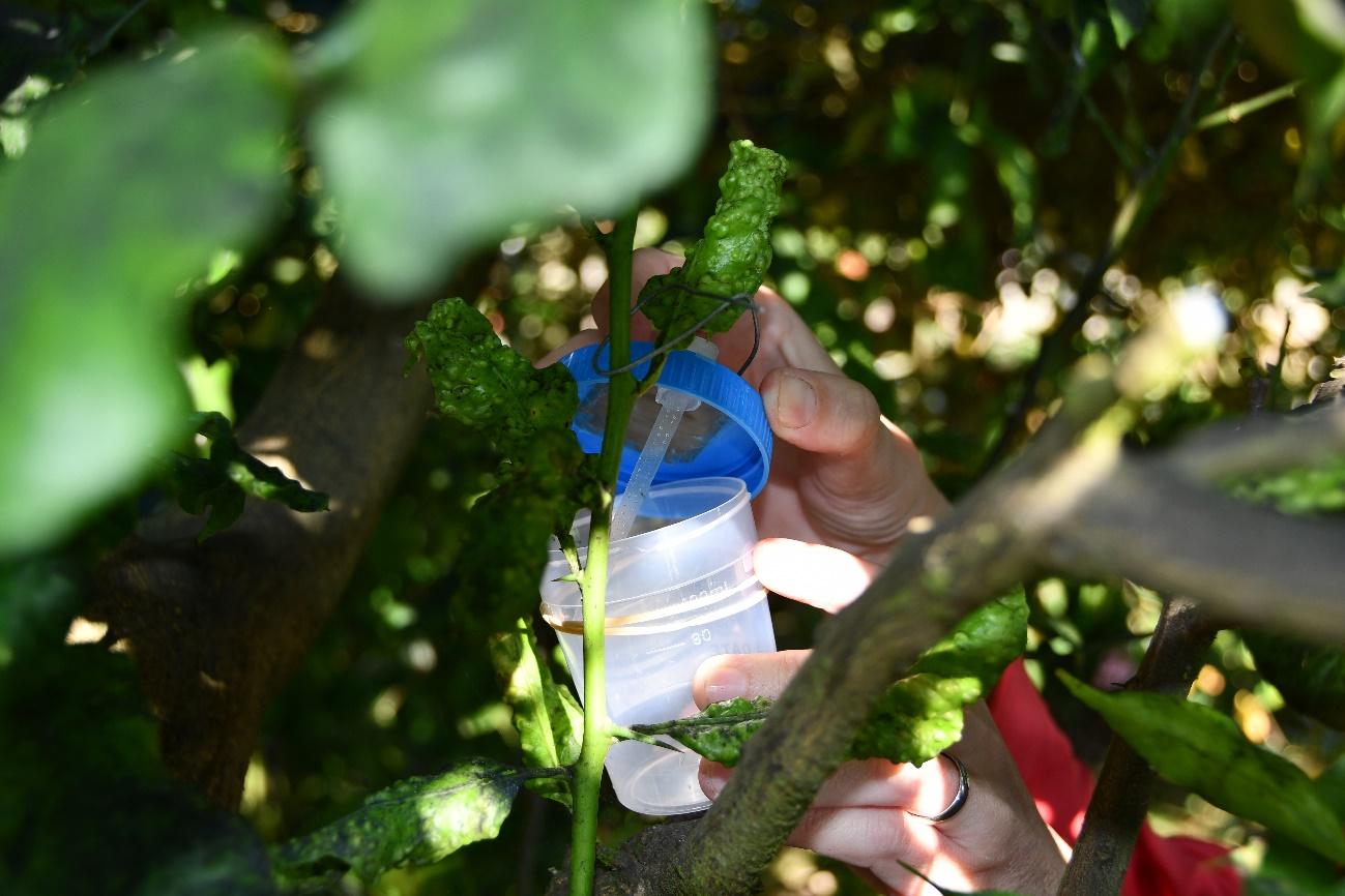 El IVIA inicia el seguimiento de la Tamarixia dryi, la avispilla contra el insecto que contagia el HLB tras sus sueltas experimentales en Galicia ...