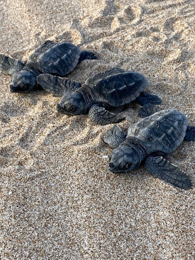 Naixen sis primeres tortugues babaues (Caretta caretta) del niu de Cullera traslladat al Saler