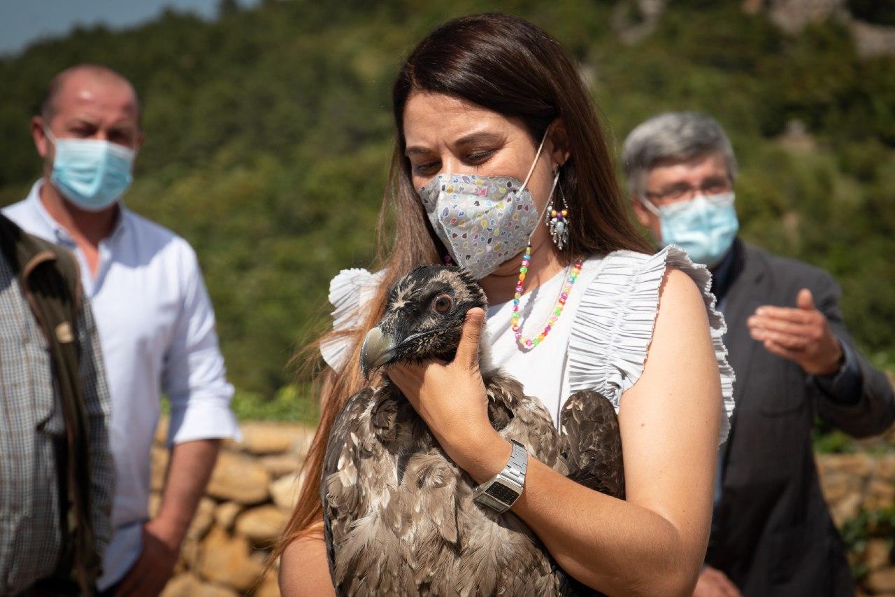 Mollà participa en la recepción de tres nuevas crías de quebrantahuesos, dentro del proyecto de reintroducción en la Tinença de Benifassà